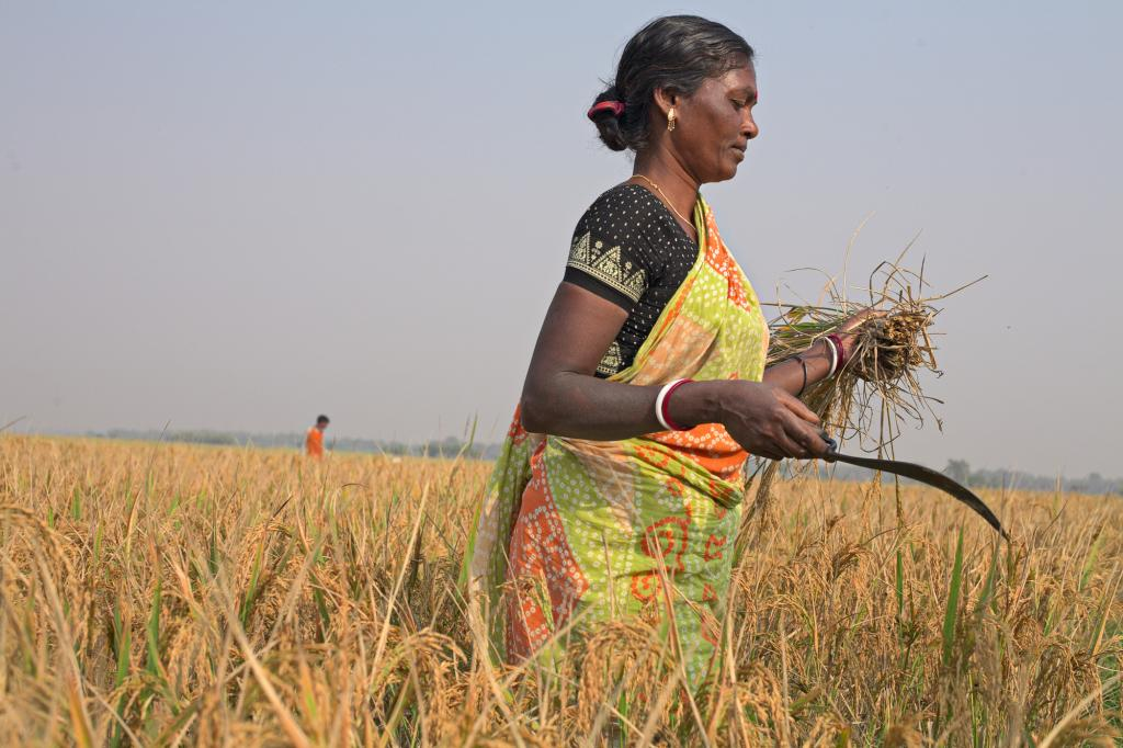 """<span class=""""photo-caption"""">In Bolpur and surrounding villages in West Bengal, India, rice is harvested in November. This 2012 crop is Meru Hansda's first using System of Rice Intensification, a method taught by MCC partner Asansol Burdwan Seva Kendra (ABSK). Instead of scattering seed like before, farmersplant in rows and use a single seed per hole. When seedlings don't compete for space, they produce more rice. """"There is a lot of change,"""" Handsda says. """"This is the best way to cultivate.""""</span><span class=""""photo-credit"""">Melissa Hess</span>"""