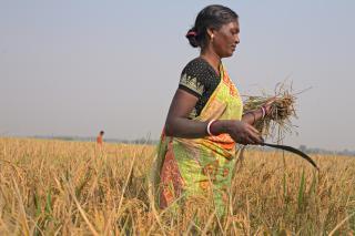 India harvesting rice
