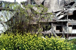 Flowers in front of a destroyed building in Homs, Syira