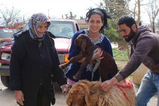 Sheep come to stay with Lebanese family