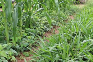 A lush green field of crops.