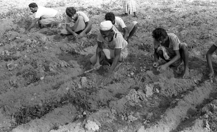 Potatoes were another food that MCC encouraged farmers to plant. This 1973 photo shows harvesters in the Noakhali district of Bangladesh examining the quality of the crop. In cooperation with Christian Reformed World Relief Committee, MCC imported seed potatoes and helped Bangladeshi farmers learn how to grow them.