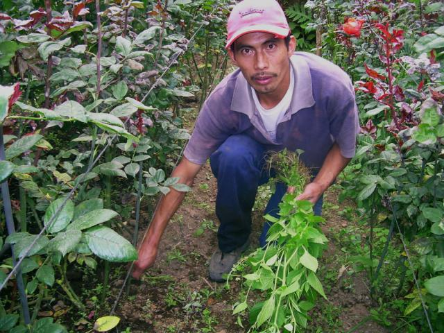 Florencio Ortiz, an associate of the La Linea Cooperative, no longer travels into Mexico with his sons to work in the coffee harvest for a couple months at a time. Instead, with the help of the cooperative, he has become one of the largest flower producers in Tonina, one of 33 villagesin Sibinal. Now he can live at home throughout the year, tending his roses and carnations and selling them in Mexico on the weekends.