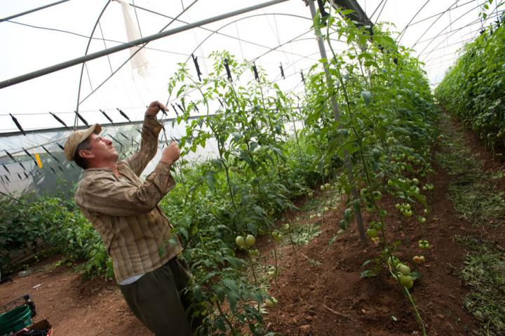 Water provided through a MCC-supported groundwater well rehabilitation project enables Abdel Hafiz to irrigate the tomatoes growing in his greenhouse in the West Bank. The project, implemented by the Palestinian Hydrology Group, gives farmers in the West Bank communities of Jayous and Qalqliyia improved access to water.