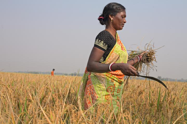 """In Bolpur and surrounding villages in West Bengal, India, rice is harvested in November. This 2012 crop is Meru Hansda's first using System of Rice Intensification, a method taught by MCC partner Asansol Burdwan Seva Kendra (ABSK). Instead of scattering seed like before, farmersplant in rows and use a single seed per hole. When seedlings don't compete for space, they produce more rice. """"There is a lot of change,"""" Handsda says. """"This is the best way to cultivate."""""""