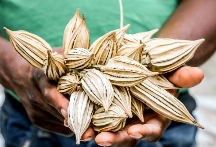 A man holds a bundle of large seeds.
