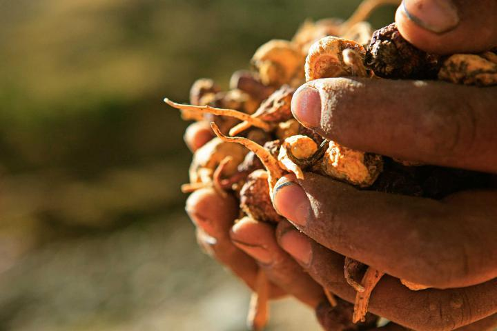 Hands hold a cluster of maca bulbs.